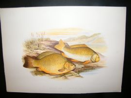Houghton 1879 Folio Antique Fish Print. Crucian Carp & Prussian Carp